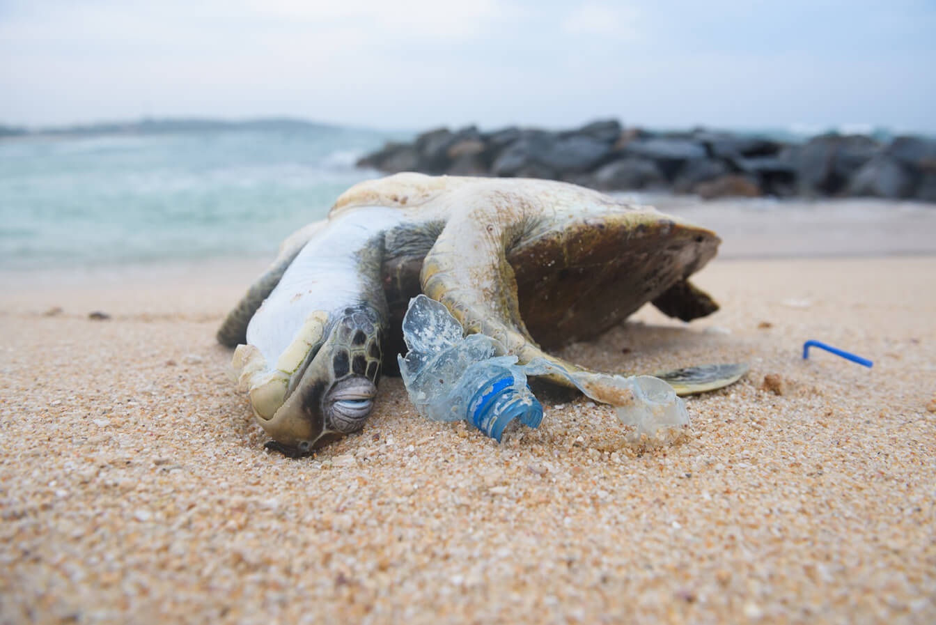 Tote Meeresschildkroete durch Mikroplastik Verschmutzung der Meere